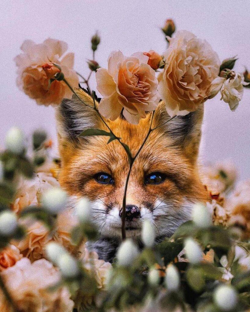 عکس پروفایل گل روباه