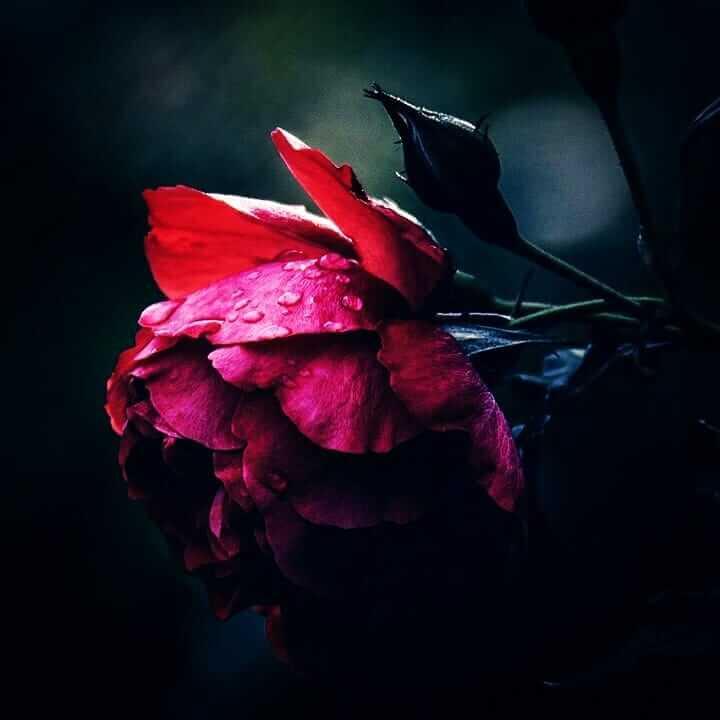 عکس پروفایل گل رز تنها