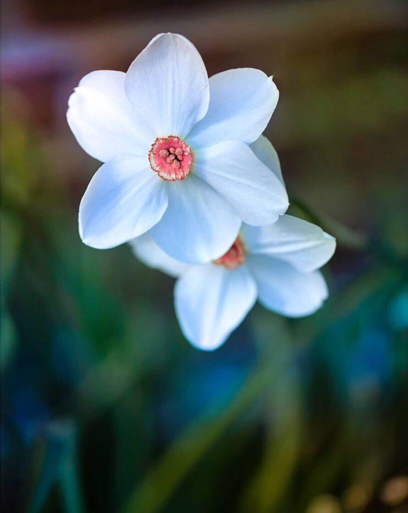 عکس پروفایل گل سفید