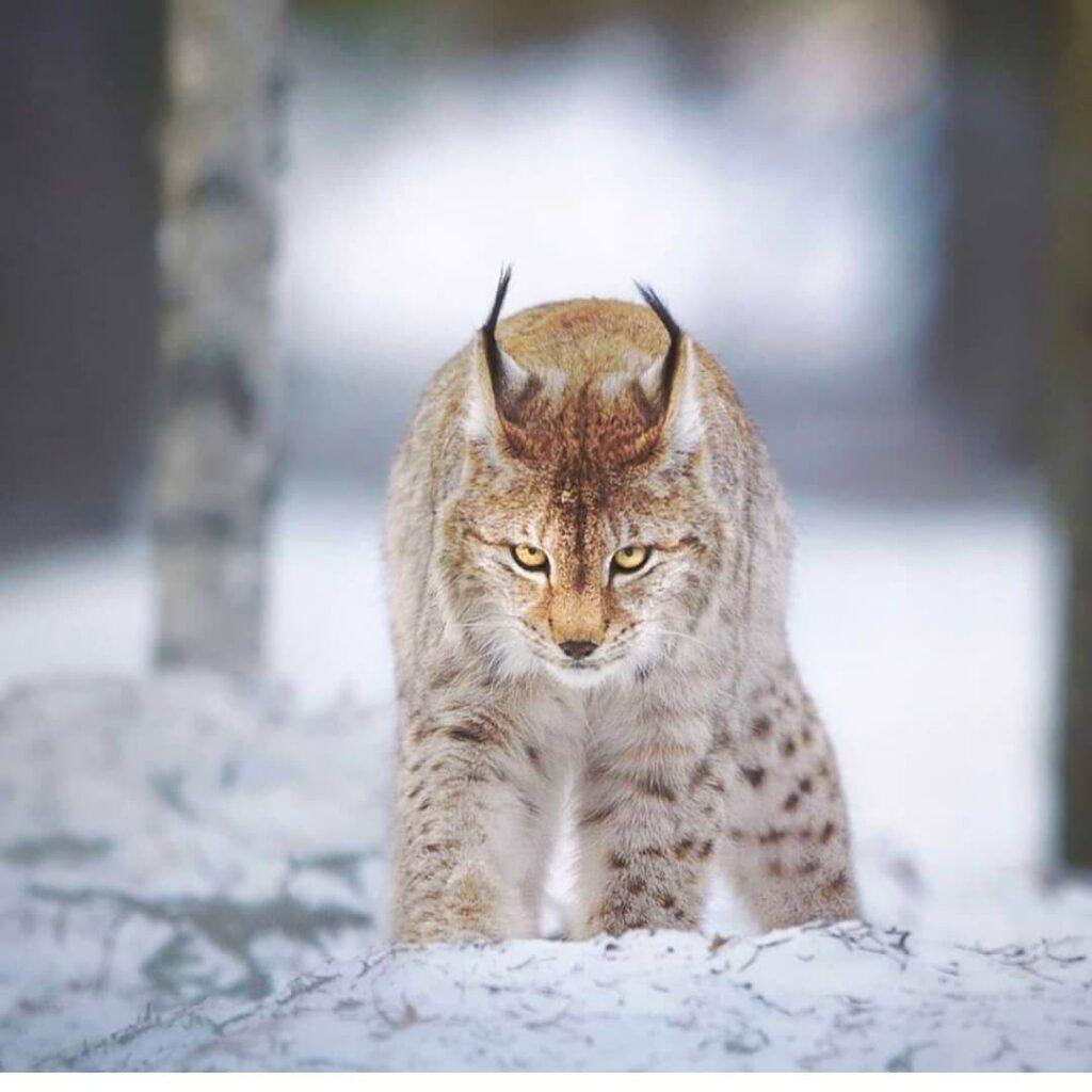 عکس پروفایل گربه وحشی