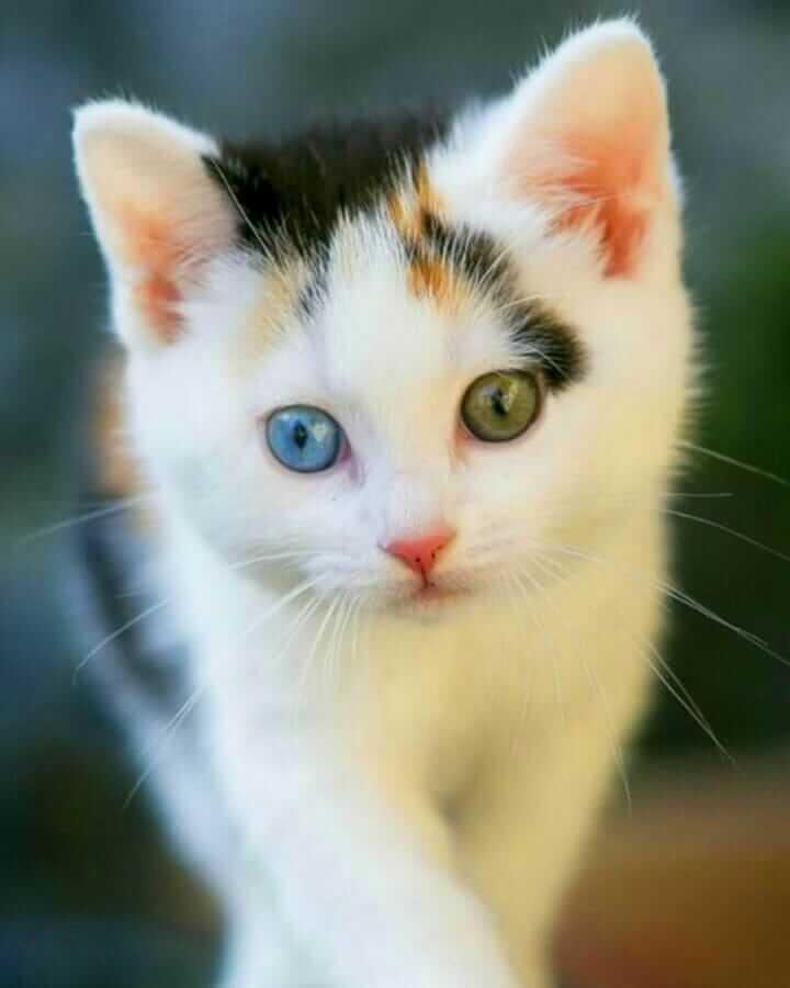 عکس گربه سفید