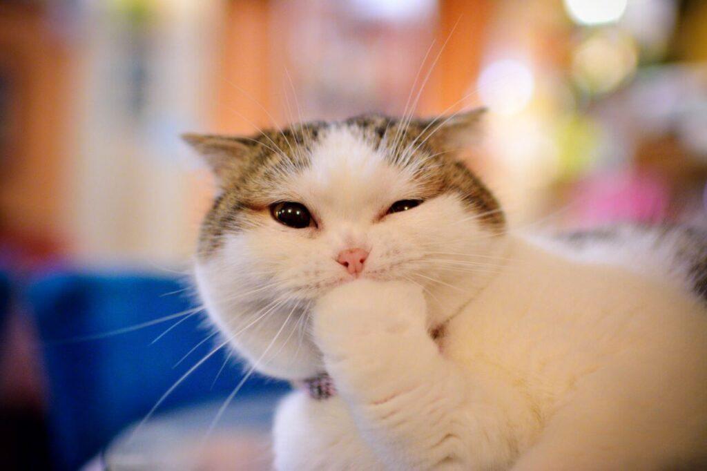 عکس گربه لاکچری