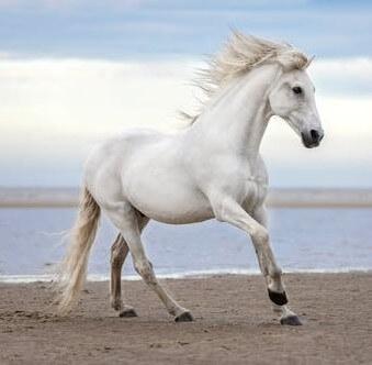 عکس اسب سفید و دریا