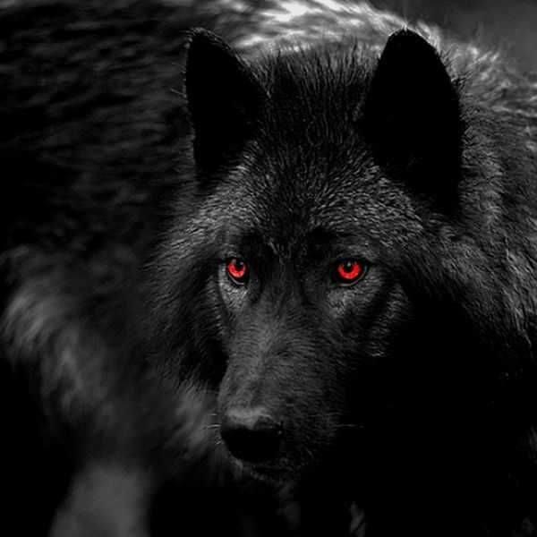 دانلود عکس پروفایل گرگ سیاه