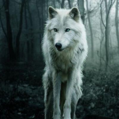 عکس پروفایل گرگ سفید